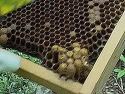 女王バチの卵