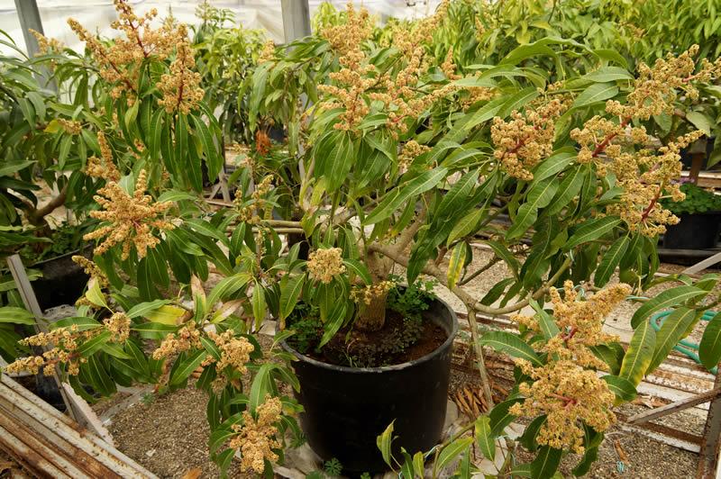 大嶺農園の鉢植えマンゴー