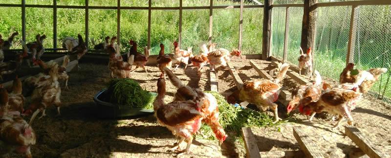 ポロニの卵は有精卵