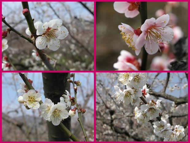 かつらぎの梅の花
