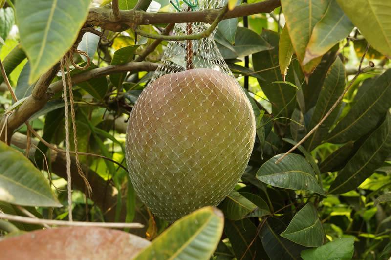 和歌山 大嶺農園のマンゴー